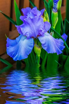 ~~Love Is Blue 2 ~ Iris and reflection by Steve Harrington~~