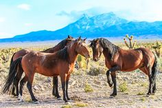 Courtship.      Wild Horses. Cold Creek, Nevada (pinned by haw-creek.com)