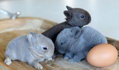 Dwarf Bunnies, Bunny Rabbits, Baby Bunnies, Cutest Bunnies, Cute Bunny, Baby Animals, Cute Animals, Pets 3, Pet Rabbit