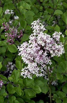 RHS Plant Selector Syringa meyeri 'Palibin' AGM / RHS Gardening