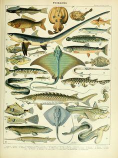 Adolphe_Millot_poissons_B.jpg (2620×3512)
