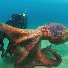 🌀 Loook at the size on this one 😱🐙. ____________________________________________ 🔘 Octopuses are considered the most… Beautiful Sea Creatures, Deep Sea Creatures, Animals Beautiful, Cute Animals, Underwater Creatures, Underwater Life, Octopus Photography, Kraken, Wale