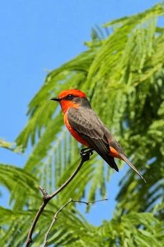 Vermillion Flycatcher.  Their range includes almost all of Mexico; it extends north into the southwestern United States, and south to scattered portions of Central America, parts of northwestern and central South America, and on southwards to central Argentina.