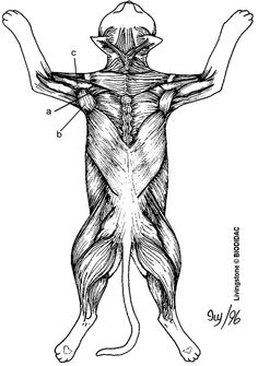 Cat Muscles of the Back (color)