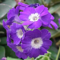Primula auricula Primulka Linda Pope has stunning purple blue flowers over the Winter months. Primulas are compact plants with stunning flowers in rich Planting Bulbs, Planting Flowers, Flowering Plants, Kill With Kindness, Primula Auricula, Garden Express, White Eyes, Lavender Blue, Winter Garden
