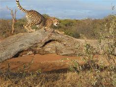 Cheetah in Tshukudu Reserve, South Africa