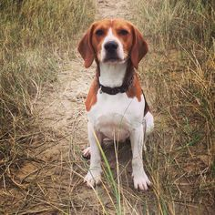 Beach beagle ~ handsome Hector