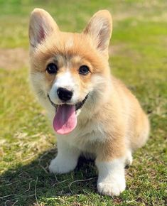 RAZAS de PERROS, Características de estas mascotas. - Dog Pet Cute Puppies, Cute Dogs, Dogs And Puppies, Border Terrier, American Bully, Staffordshire Bull Terrier, Fox Terrier, Jack Russell Terrier, All Dogs