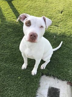 MILA is an adoptable pit bull terrier searching for a forever family near Wasco, CA. Use Petfinder to find adoptable pets in your area.