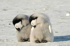 Baby penguins sleeping.