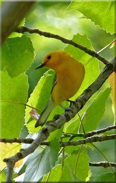 Prothonotary Warbler #biggestweek https://www.facebook.com/photo.php?fbid=528982210463489=a.444659055562472.117192.355103211184724=3