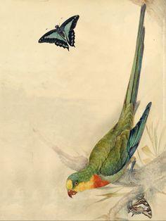 John William Lewin, Superb parrot [Polytelis swainsonii], 1817.