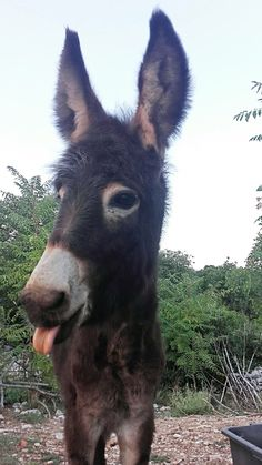 If you wonder what a donkey can eat, you can find all important feeding facts here. Take good care of your donkey with best information. Smiling Animals, Farm Animals, Animals And Pets, Funny Animals, Cute Animals, Donkey Funny, Cute Donkey, Mini Donkey, Cute Creatures