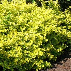 Euonymus fortunei Emerald n Gold - 1 shrub Buy online order yours now Evergreen Climbing, Evergreen Vines, Bulb Flowers, Large Flowers, Raised Pond, Low Growing Shrubs, Dwarf Shrubs, Monrovia Plants, Sun