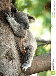 Image result for koala bear