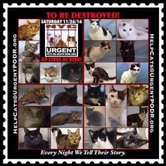 """TO BE DESTROYED 11/26/16 - - Info  Please Share:Please share View tonight's list here: http://nyccats.urgentpodr.org/tbd-cats-page/  The shelter closes at 8pm. Go to the ACC website( http:/www.nycacc.org/PublicAtRisk.htm) ASAP to adopt a PUBLIC LIST cat (noted with a """"P"""" on their profile) and/or … CLICK HERE FOR ADD...-  Click for info & Current Status: http://nyccats.urgentpodr.org/to-be-destroyed-091716/"""