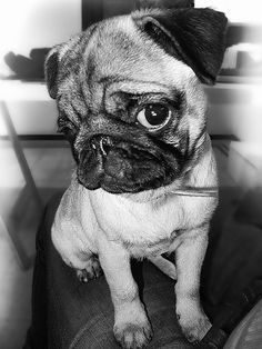 I know there is a God because the Big Bang could NOT have created pugs. They are way too cute and complex <3