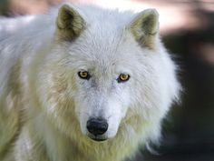 Dog + Wolf = Wolf Dog The 14 Coolest Hybrid Animals Dog Barking Video, Stop Dog Barking, Bark At The Moon, Arctic Wolf, Timber Wolf, Wolf Love, Wolf Pictures, Rare Animals, Exotic Animals