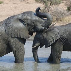 """HERD Elephant Orphanage on Instagram: """"Sebakwe and Mambo are seen here, enjoying one another's company in the dam waters. Sebakwe is the dominant bull of the herd and is often…"""" Elephant, Meet, Water, Animals, Instagram, Gripe Water, Animales, Animaux, Elephants"""