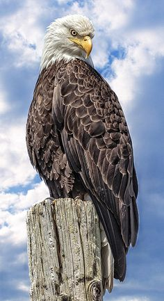Birds of Prey - Majestic Bald Eagle - title A Regal Perch - by Wes and Dotty Weber