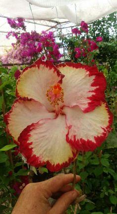 ## Vivamos como as flores.## ««..Um discipulo pergunta Mestre, como faço para não me aborrecer? Algumas pessoas falam demais,outras são ignorantes. Algumas são indiferentes. Me incomoda as mentirosas. Sofro com as que caluniam. Pois viva como as flores! Advertiu o mestre. Como é viver como as flores? perguntou o discípulo. Pacientemente, o mestre explicou:- Aprenda com a Flor de Lótus, elas nascem no esterco, entretanto, são puras e perfumadas. Extraem do adubo malcheiroso tudo que lh Unusual Flowers, Types Of Flowers, All Flowers, Flowers Nature, Beautiful Flowers, Hibiscus Plant, Hibiscus Flowers, Nothing But Flowers, Hibiscus Rosa Sinensis