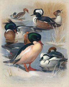 Ducks - Merganser, Goosander