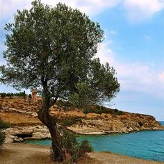 Trees in The Bible - the olive tree- Psalms 52:8;Romans 11:24