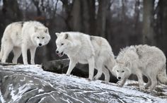 http://karapaia.livedoor.biz/archives/52202394.html  #wolf #オオカミ
