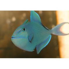 Niger Trigger This fish looks AWESOME. But isnt reel safe :(