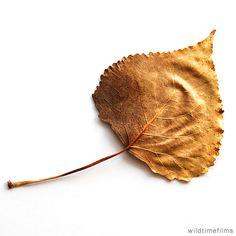 Wrinkled dry leaf showing leaf veins.
