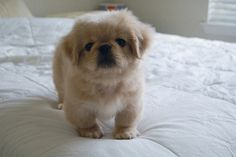 what my baby girl looked like when she was just a pup! Pekinese-poodle mix (she's more of a peek than poo we say)