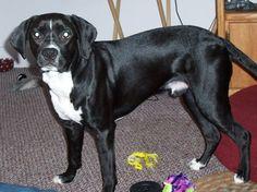 Boxspring  (Sproxer)  Boxer / English Springer Spaniel Hybrid Dogs