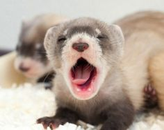Baby ferret!!!! I want another!
