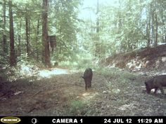 Wild Hogs in Titus, Alabama caught on a trail cam. There are 67 counties in Alabama and 62 have reported land damage from the hogs. http://ithappensinalabama.com/hunting-fishing/