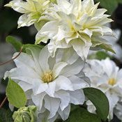 This vining clematis has won awards around the globe for its exotic form, easy care and sturdy, hardy nature. White and green blooms appear from top to bottom. White Clematis, Clematis Plants, Clematis Vine, Flowering Plants, Colorful Flowers, White Flowers, Beautiful Flowers, Rare Flowers, Spring Hill Nursery