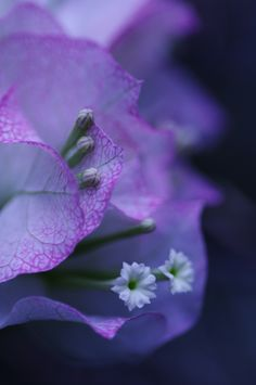Bougainvillea ~ by hirocame*