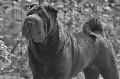 Qi Ming Xing War Of The Roses - Qi Ming Xing shar pei kennel - Picasa Web Albums Funny Dogs, Cute Dogs, Funny Animals, Cute Animals, Shar Pei Puppies, Dogs And Puppies, Doggies, Shar Pei Fever, Chinese Shar Pei Dog