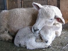 Vermont Romney sheep & lambs| Grand View Farm quality breeding stock.