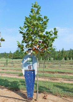In honor of the first day of fall, we are introducing our first crop of American Sycamore. We will have available next month! Shade Trees, American, Fall, Autumn