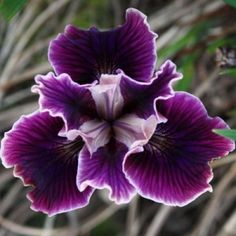 Pacific Coast Iris 'Fallen Plums'