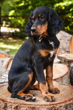 Gordon Setter Dogs And Puppies