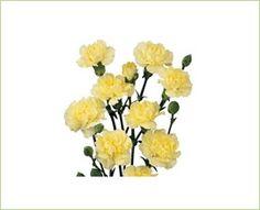 Intermezzo Yellow - Mini Carnation - Carnations - Flowers by category | Sierra Flower Finder