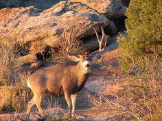 Trophy of the Day. Let's go track him down! Mule Deer Buck, Mule Deer Hunting, Moose Deer, Oh Deer, Big Game Hunting, Trophy Hunting, Hunting Tips, Hunting Season, Hunting Pictures