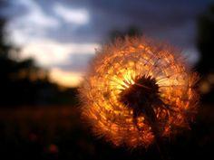 Dente de leão no sol - Fotos e fotos | Seu portal de imagens ...