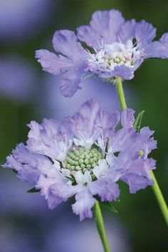 Gardening Flowers ✯ Scabiosa caucasia perfecta - Scabious are classic British garden plants and are invaluable for their hugely long flowering season, good vase life and the bonus that the bees and butterflies love them. Large Flowers, Exotic Flowers, Cut Flowers, Purple Flowers, Beautiful Flowers, Pastel Purple, Periwinkle Blue, Hibiscus Flowers, Cactus Flower