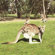 Kangaroos #kangaroo #wildlife #animals #australia #visitvictoria #anglesea #angleseagolfclub #greatoceanroad #travel #travelgram by ryan_ilahi