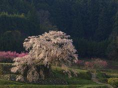 Aged 300 years old cherry blossom tree Matabei-zakur #nara #japan