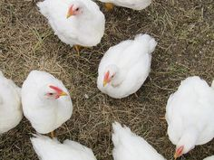 chicken on drugs: article on the antibiotics found in meat... so scary but not too surprising.
