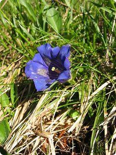 Flora-alpina-Gentiana_acaulis