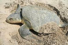 All about Kemp's Ridley Sea Turtles